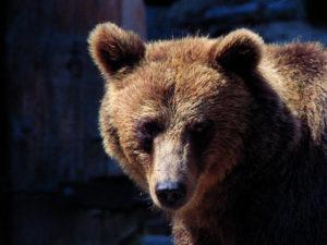 L'è fòra l'ors de la tana